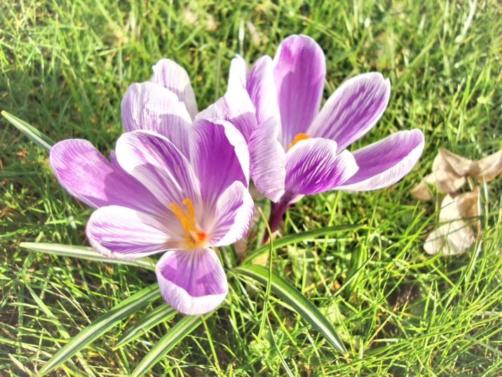 Lilac crocuses