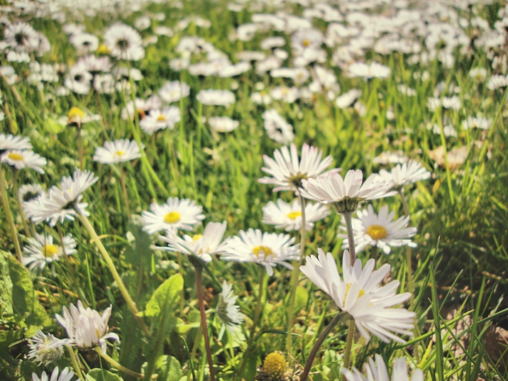 Daisies in the jardin