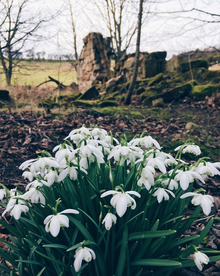 Snowdrops by the ruins