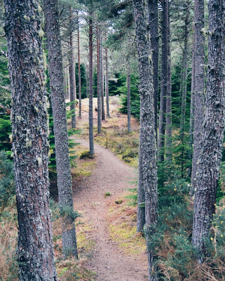 A forest trail through tall pines