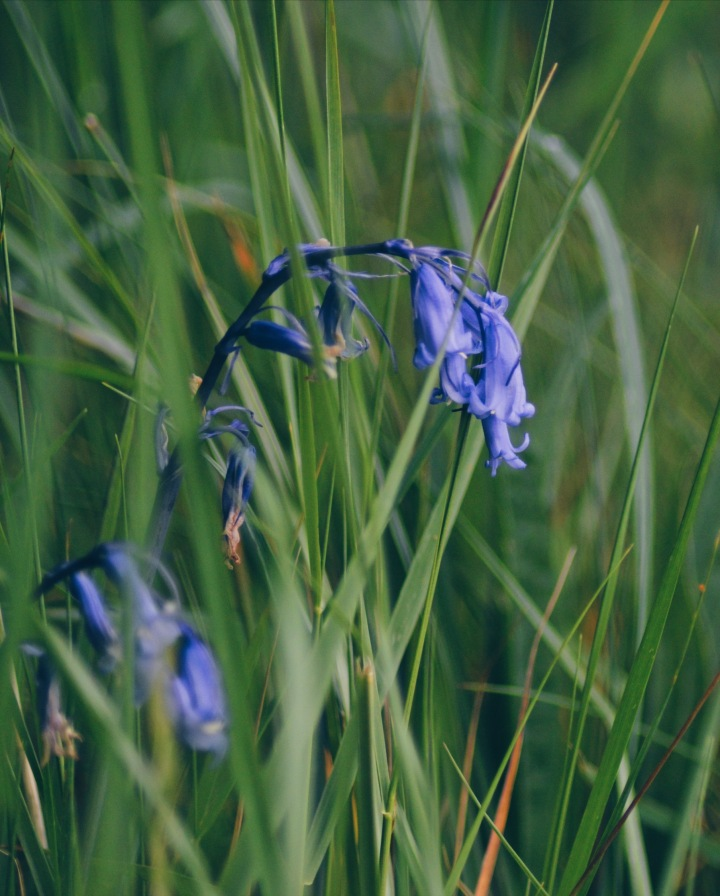 A close up of bluebells surrounded by grass