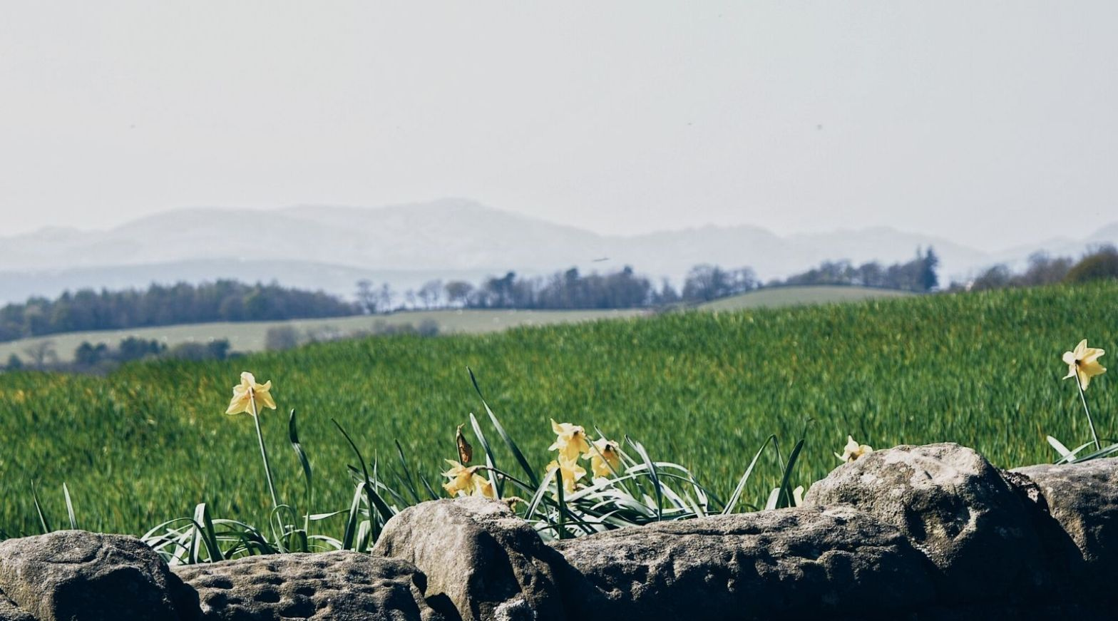 Daffodils behind a wall, with a view to hills on the horizon
